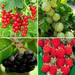посадка плодовых кустарников