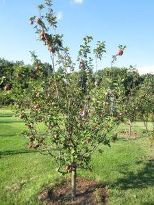 озеленение в Московской области- посадка плодовых