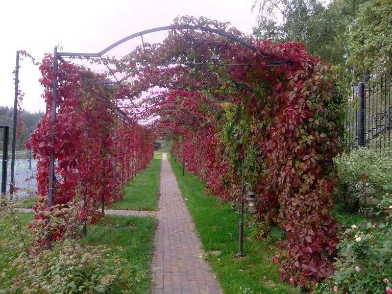 берсо дорожка из клинкера виноград девичий весна веледниково осень