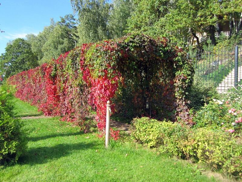 большой участок виноград декоративный осень берсо садовая колонка веледниково