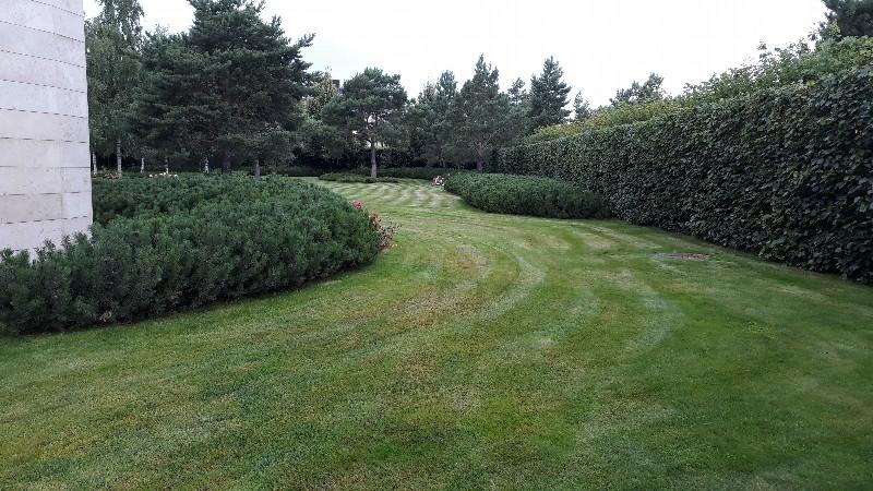 большой участок жуковка газон сосны ковровые посадки из сосны горной