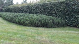 большой участок жуковка газон сосны живая изгородь из липы мелколистной липы ковровые посадки из сосны горной