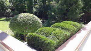 фигурная стрижка сирень мейера палибин форма шар газон астильба туя западная фигурная стрижка