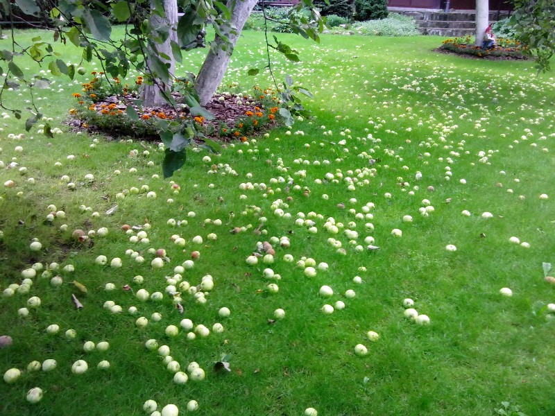 газон яблоки осень екатериновка