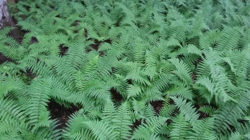 лесной большой участок страусник папоротник теневой цветник заречье