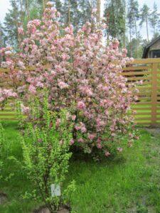 минское шоссе яблоня декоративная уход за садом
