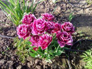 новая рига озеленение тюльпан махровый луковицы