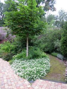 новогорск спирея стелющаяся озеленение (1)