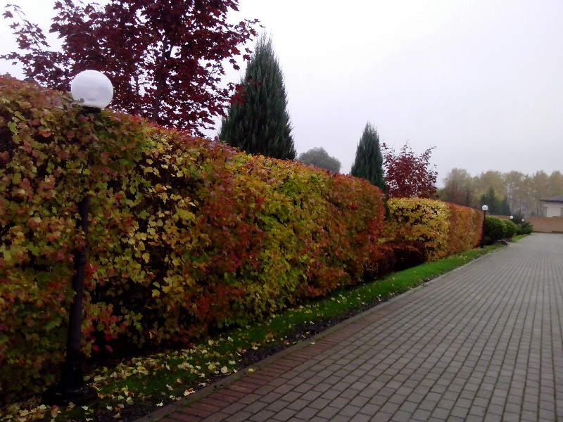 общественная территория живая изгородь боярышник можжевельник тротуарная плитка