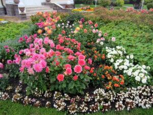 Пестово георгины сложный сезонный цветник однолетние цветы