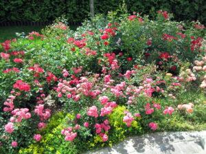 Пестово розарий почвопокровные розы