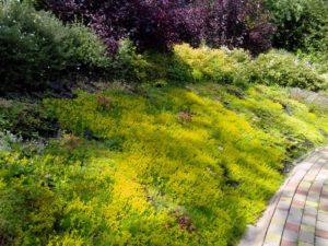 Средний участок новогорск 2 живая изгородь из туи плитка тротуарная сложный рельеф склон седум видный лапчатка пузыреплодник