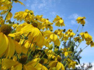 веледниково большой участок цветник рудбекия