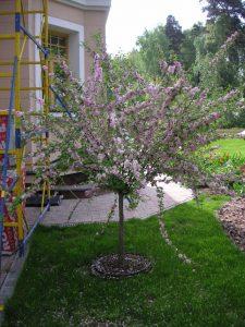 плодовые деревья - обрезка
